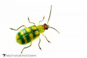 """Banded Cucumber Beetle (Diabrotica balteata)"" by Abbott Nature Photography"